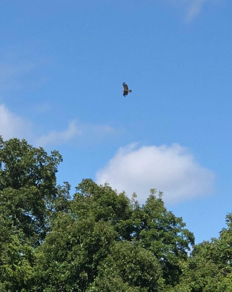 Image of Hawk